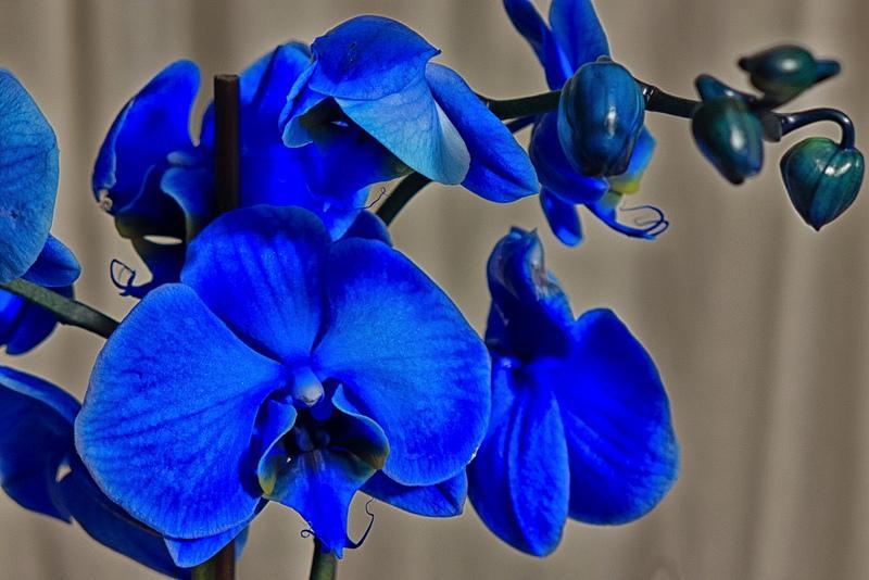 13533156865 299112cc79 c 1 - Orquídeas azules