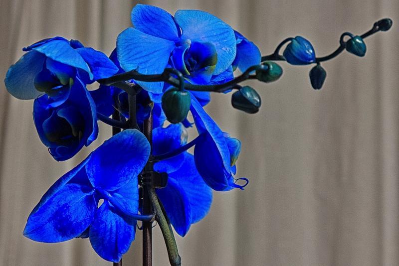 13533475064 9583dfdfd3 c 1 - Orquídeas azules