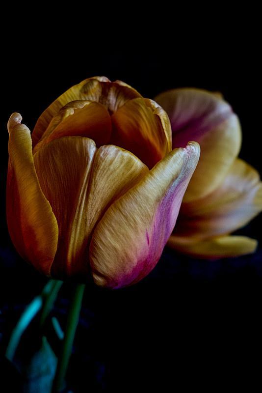 16364193606 04a41bd2e8 c 1 - Tulipanes
